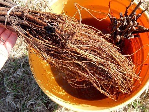 An Experiment: Growing Verona Grapes Organically in Pennsylvania