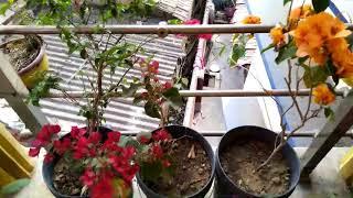 bougainvillea plant care