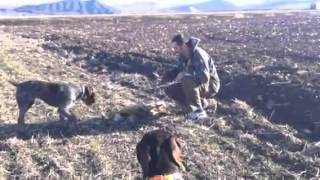 Deutsch Drahthaar Hunting Dog Training