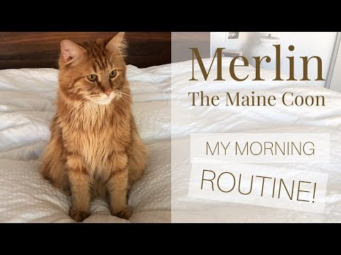 Merlin the Maine Coon - MY MORNING ROUTINE!