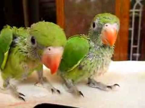 Baby indian parrot - photo#8