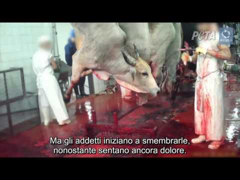 Atroci crudeltà filmate nei macelli kosher