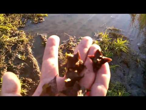 Как выглядит водяной орех