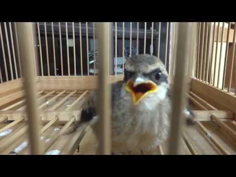 Ngeloloh Burung Pentet