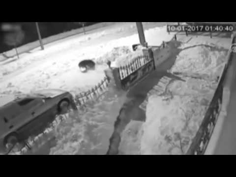 hungry wolf attacked and dragged a dog
