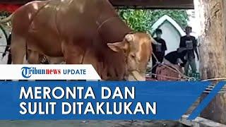 Sapi Kurban Jokowi di Solo Bikin Repot Jagal, Terus Meronta dan Sulit Ditaklukan saat Disembelih