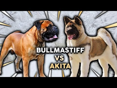 BULLMASTIFF vs AKITA! What's The Best Family Guard Dog!?