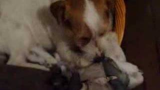 Dog Eats Postman Toy, Rips Out Guts, Part 1, The Stuffing