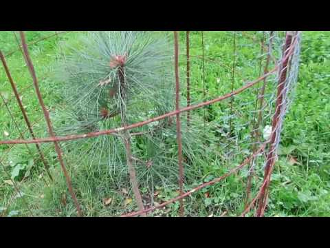 My Backyard Tree Nursery | Growing Pine Trees