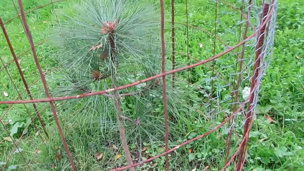 My Backyard Tree Nursery Growing Pine Trees
