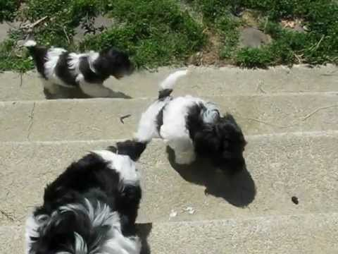 Havanese Puppies Puppies For Sale Non Shedding Dog