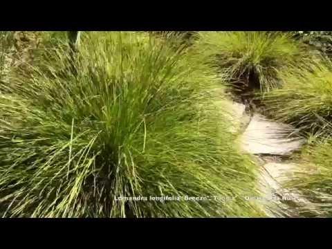 Lomandra Longifolia Breeze Tanika Dwarf Mat Rush