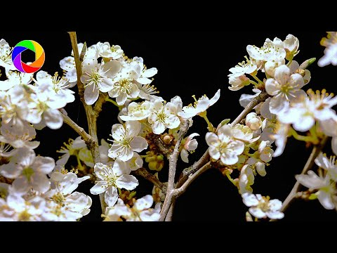 Blooming Plum Tree Time Lapse • Growth, Floral Background