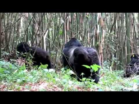Scott charged by a Silverback gorilla in Rwanda