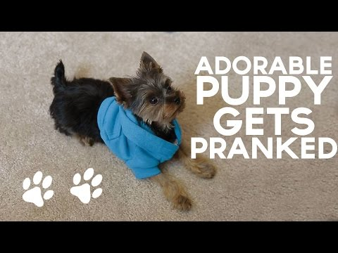 Adorable Puppy Gets Pranked By His Owner & It's Hilarious