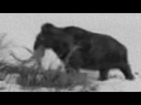 Живой мамонт в Сибири. Якутск (1943г.)