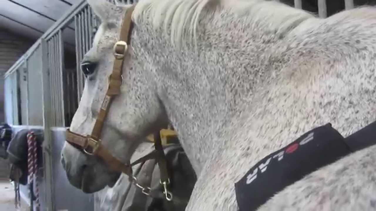 Polar Equine H10 Sensor Set Belt Gurt Pferde Heart Rate Puls Bluetooth Trotting