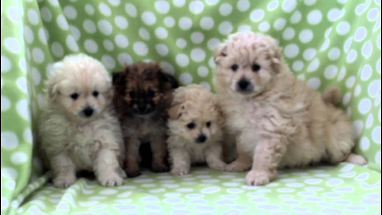 Pomapoo Puppies For Sale Youtube