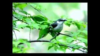 サンショウクイの幼鳥 【信州自然塾】2014年6月13日