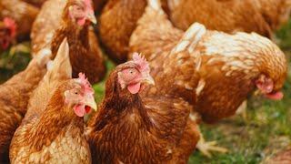 Atelier NOE-NOAH: la poule auxiliaire du jardinier