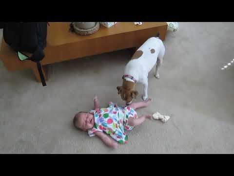 cute jack russell terrier and baby