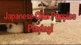JAPANESE CHIN PUPPIES EPIC PLAYTIME FUN! SUPER CUTE DOGS RUN, HIDE AND FROLIC! COME AND SEE!