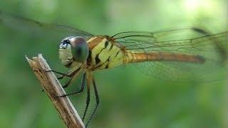 FASTEST FLYING INSECT IN THE WORLD : DRAGONFLY