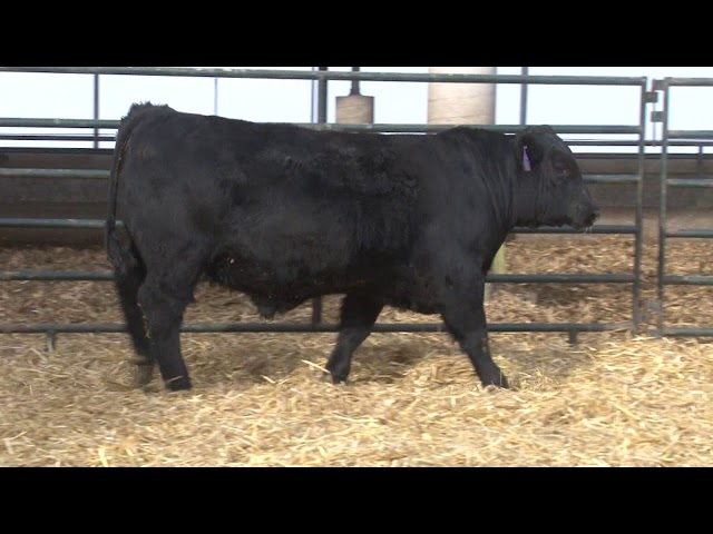 Schiefelbein Angus Farms Lot 71