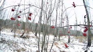 Жизнь в деревне. Прогулка по лесу. Сбор лесной ягоды для домашней птицы. Лесные витамины для фазанов