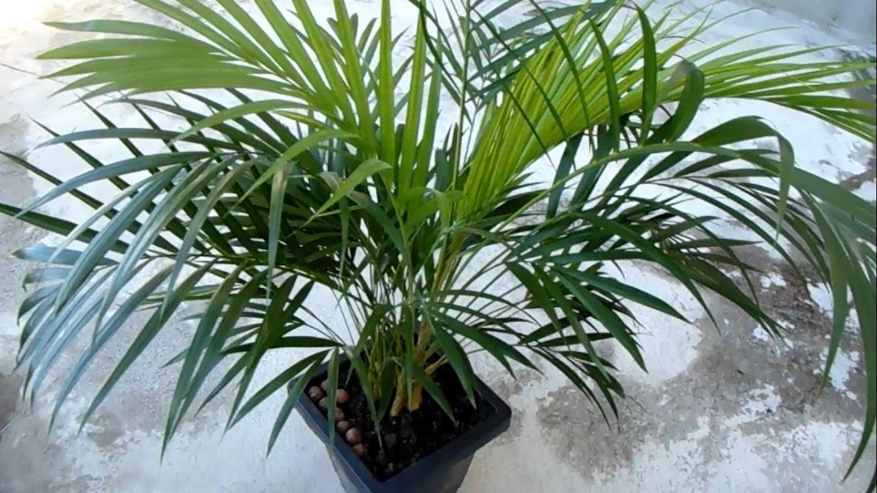 palmier d'arec
