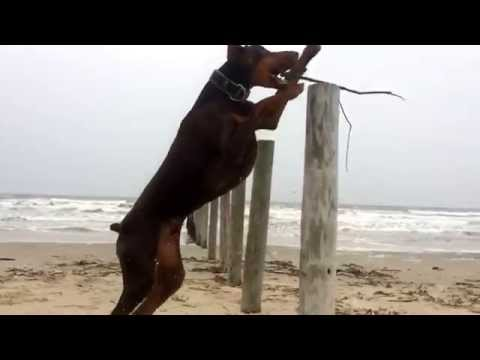 A Doberman's day at the beach (watch in HD)