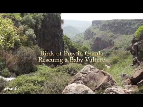Wysinfo Docuwebs: Vultures of Gamla -  Rescuing a Baby Vulture