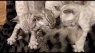 Бенгальские котятя снежные, окрас минк. Продажа.
