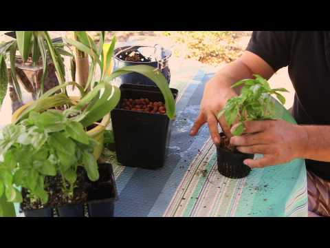 How to Transplant From Soil to Hydroponics : Hydroponic Gardening