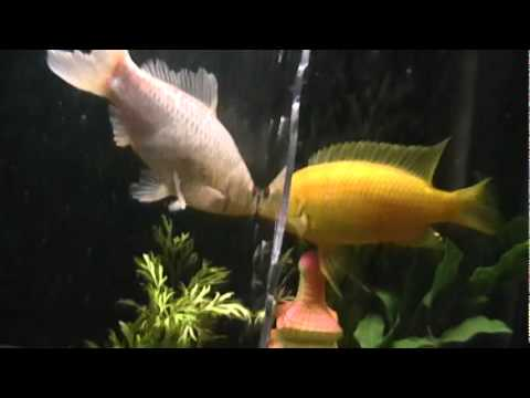 Cichlid and goldfish youtube for Ok google plenty of fish