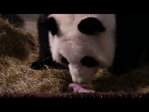 Giant panda gives birth to twins