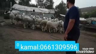 Mouton (kabch sardi) 2016 très  bonne  qualité