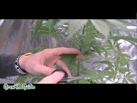 Листья конопли желтеют - kanna-