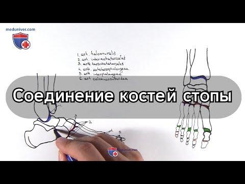 Анатомия суставов стопы - Meduniver.com