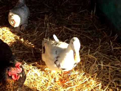 My duck chickens other animals and coop youtube for Can ducks and chickens share a coop