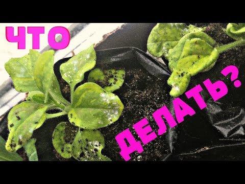 Почему погибает петуния? Как спасти рассаду? | природного | земледелия | сморчкова | подкормка | практика | черенки | рассады | рассада | петунии | огороде