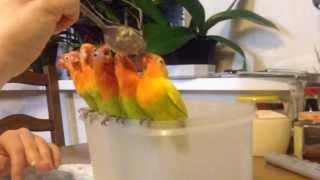 Кормление птенцов неразлучника Фишера