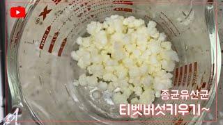 티벳버섯으로 요거트만들기