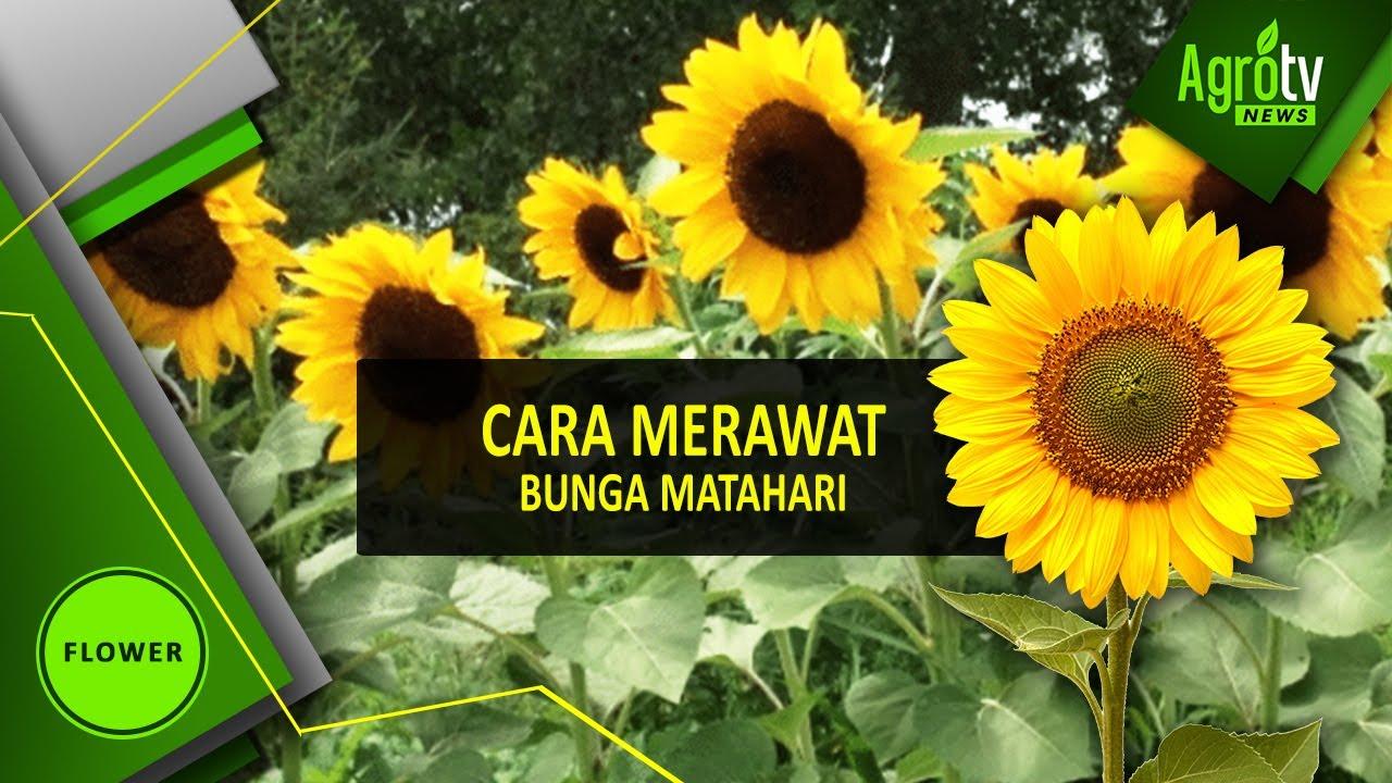 Cara Merawat Bunga Matahari Youtube