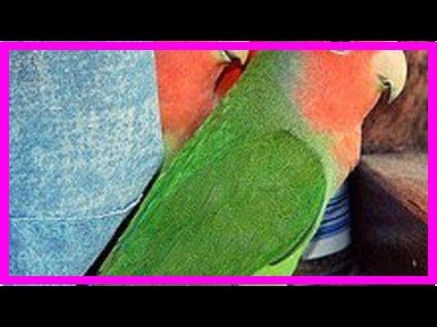 Are Lovebirds Good As Pets: The Pros And The Cons