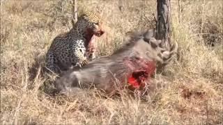 Download Video Leopar Canlı Domuzun Ciğerini Yiyiyor HD MP3 3GP MP4
