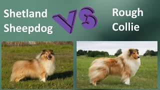 Shetland Sheepdog VS Rough Collie  Breed Comparison  Rough Collie and Rough Collie Differences