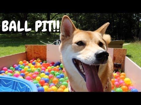 HARU'S FIRST TIME IN A BALL PIT!   Shiba Inu Dog