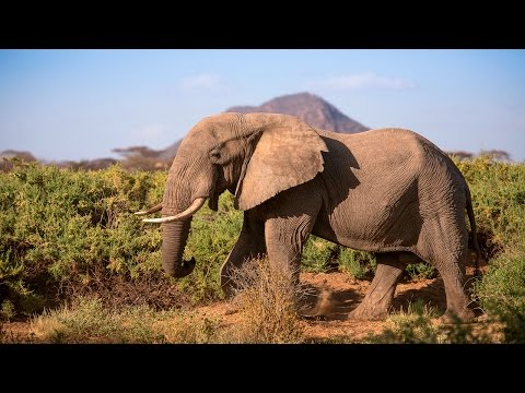 Thumbnail: Protecting Africa's elephants: Discover Samburu with Save the Elephants & Google Maps