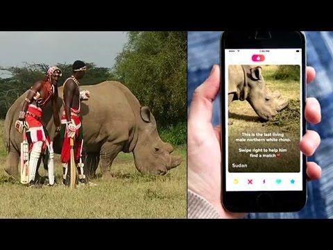 Kenya's last northern white rhino joins Tinder